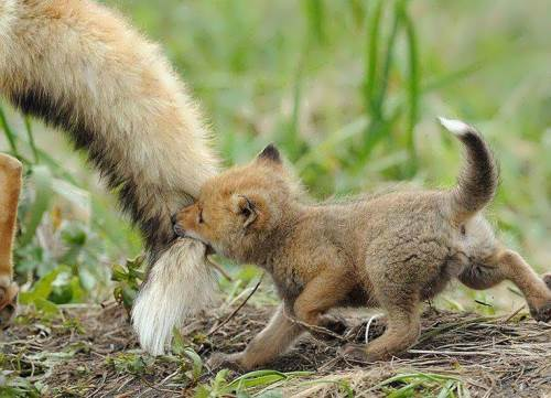 Little Fox Running For Mom