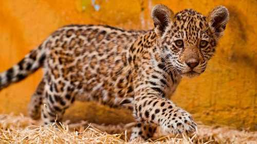 Little jaguar