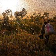 Locusts, Madagascar