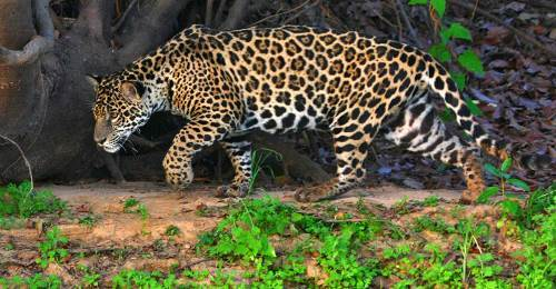 Lovely jaguar