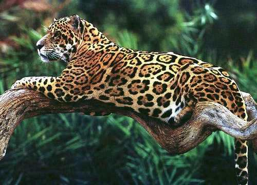Magnificent jaguar