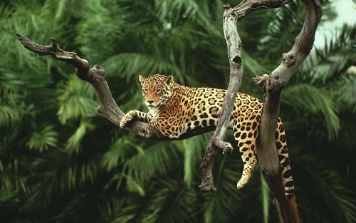 Majestic jaguar