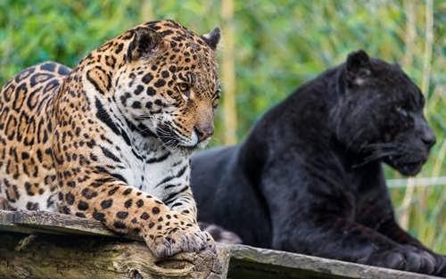 Melanistic jaguar