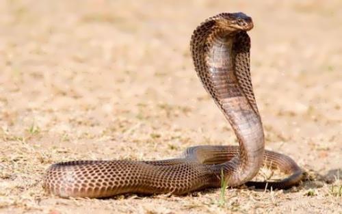 Pretty cobra