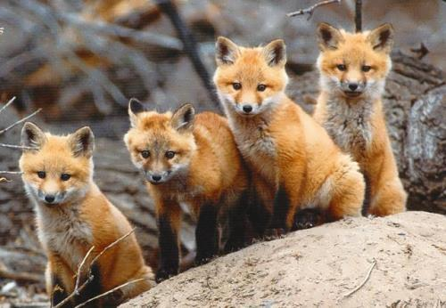 Pretty foxes