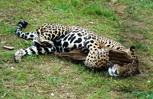 Pretty jaguar
