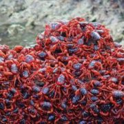 Red crabs on Christmas Island