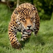 Running jaguar
