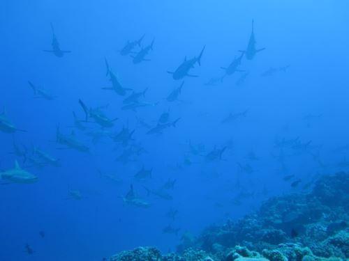 Sharks, Fakarava
