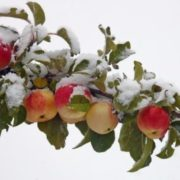 Snow and apples