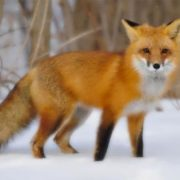 Stunning fox