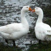 Stunning geese