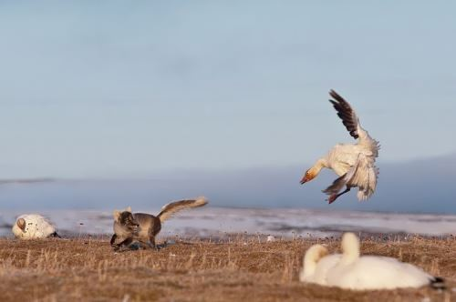 The snow goose attacks the fox, who tried to steal the egg from the nest