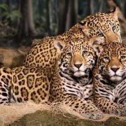 Three cute big cats