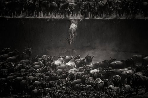 Wildebeests in Mara River, Serengeti