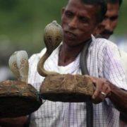 Wonderful cobras