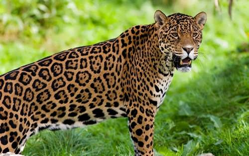 Wonderful jaguar