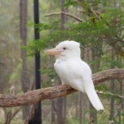 Albino kookaburra