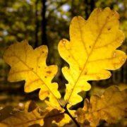 Amazing oak leaves