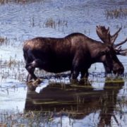Attractive elk