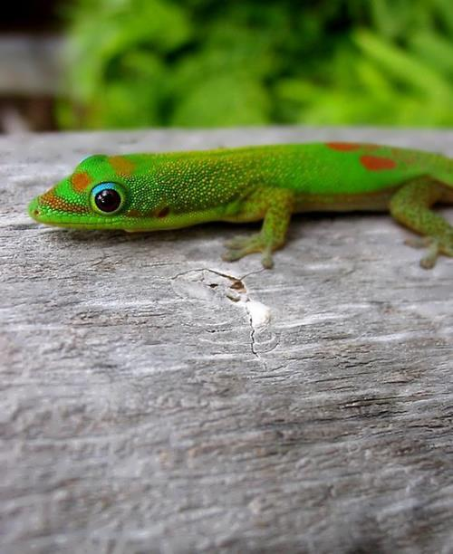 Attractive gecko
