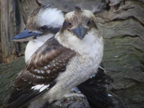 Attractive kookaburras