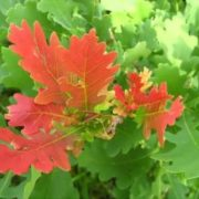 Attractive oak leaves