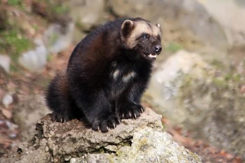 Attractive wolverine
