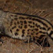 Awesome civet