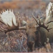 Awesome elk