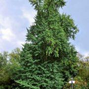 Awesome ginkgo tree