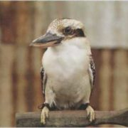 Awesome kookaburra