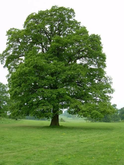 Awesome oak