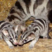 Beautiful civets