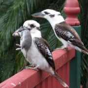 Beautiful kookaburras