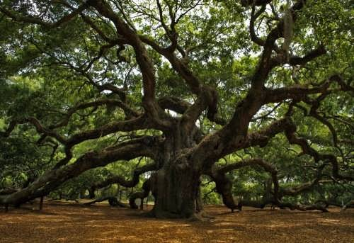 Beautiful oak