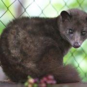 Charming civet
