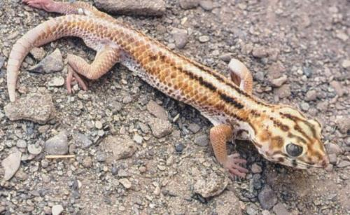 Charming gecko