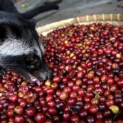 Civet is eating coffee beans