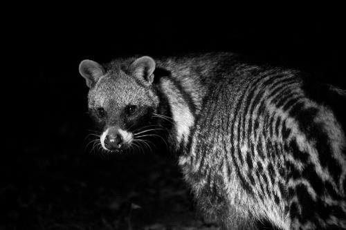 Civet. Bri Hackler