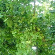 Cute ginkgo tree