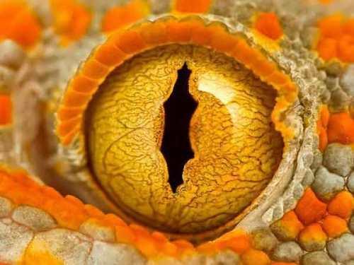 Eye of a gecko