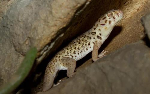 Geckos are among the world's smallest lizards