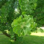 Ginkgo biloba – unusual tree