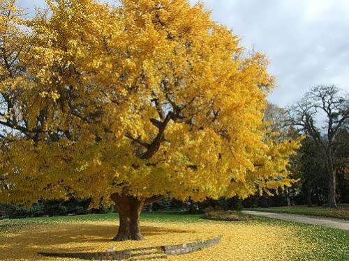 Ginkgo leaves turn golden yellow in autumn