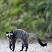 Gorgeous civet