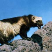 Gorgeous wolverine