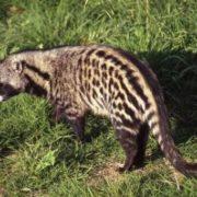 Graceful civet