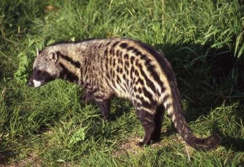 Graceful civet