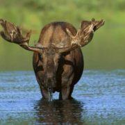 Graceful elk